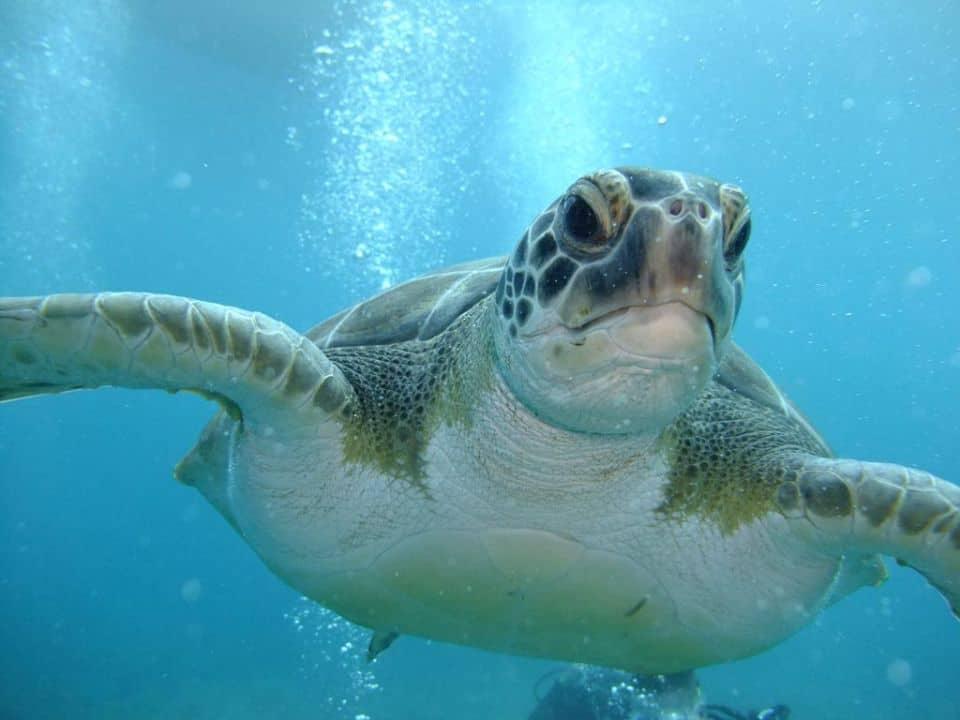 diving-in-tenerife-turtle